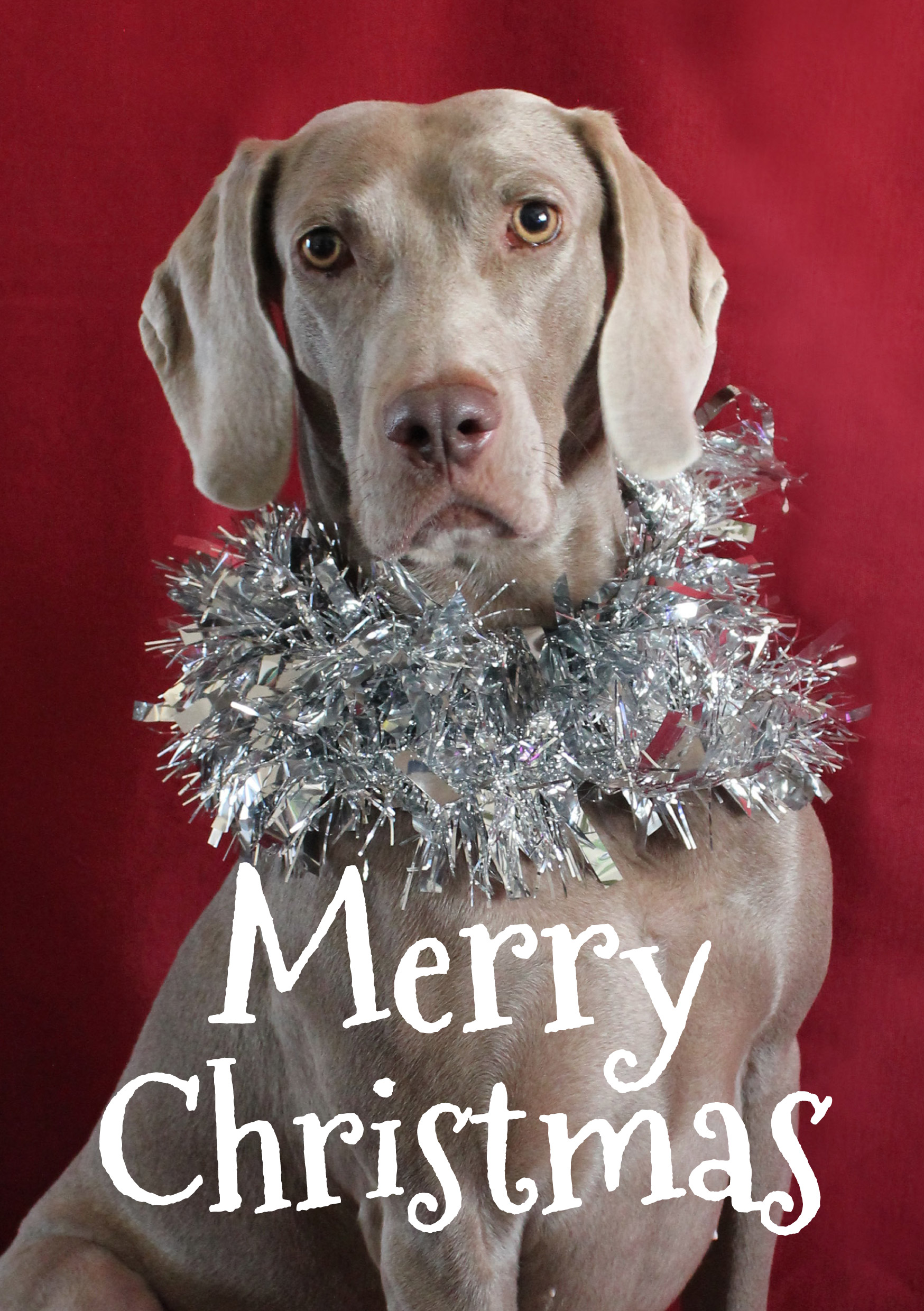 Tinsel - Fine Weim Christmas Card