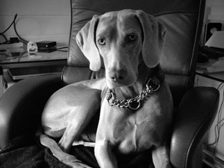 Weimaraner Fine Art Print: Working dog